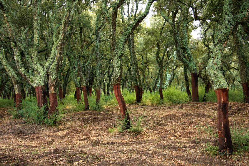 Il sughero tutto quello che c 39 da sapere su quest 39 isolante naturale - Sughero pianta da giardino ...